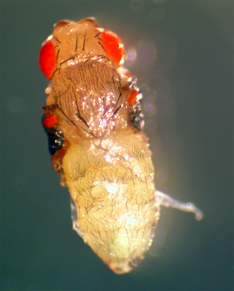 An abnormal fruit fly made by the following transgenic line: dpp-GAL4; UAS-ey