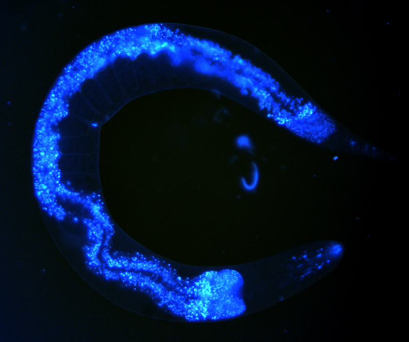 Roundworm. Nuclei labelled by a blue fluorescent dye.